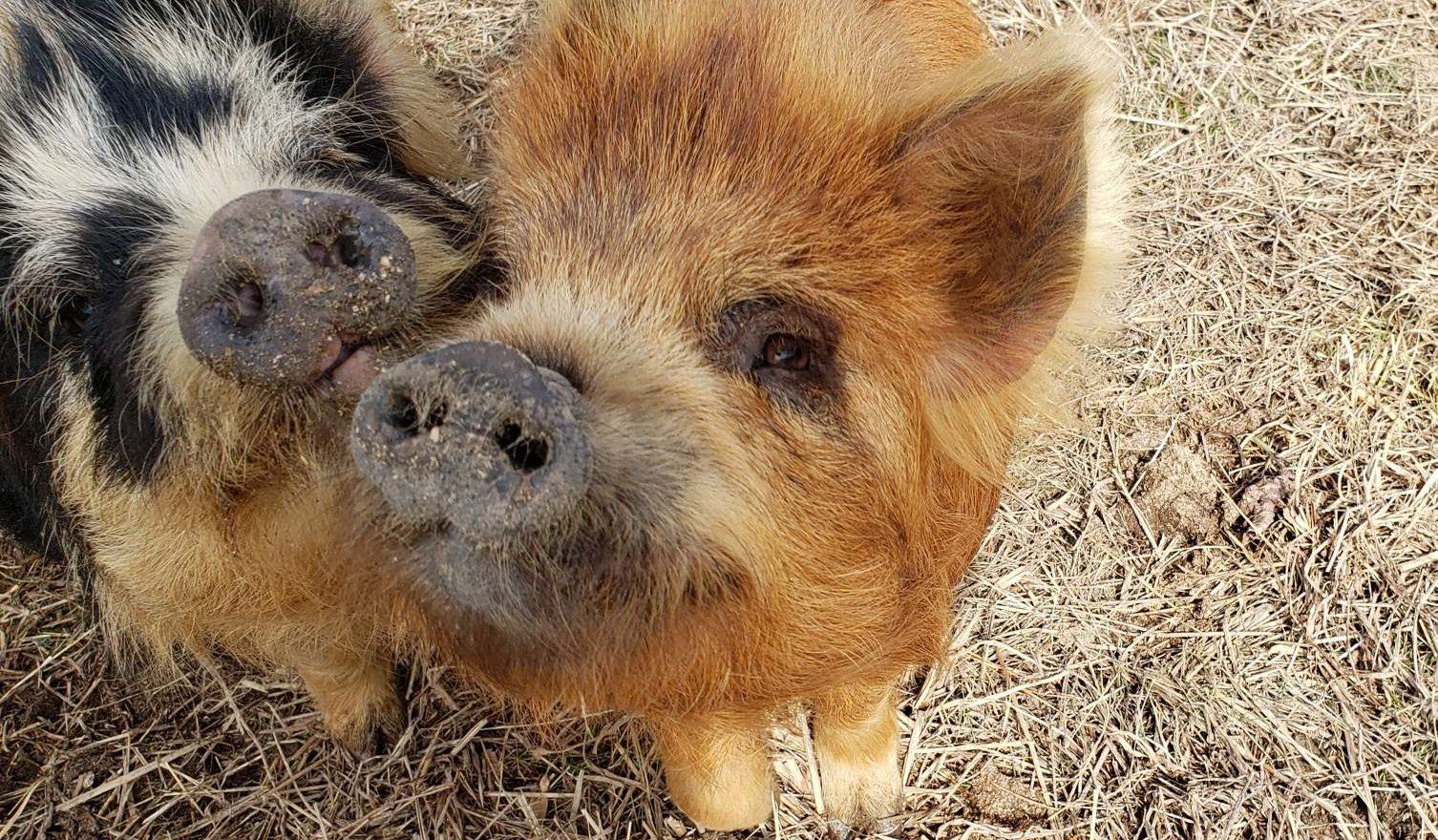 Kunekune Pigs -  Locust Grove Pastures